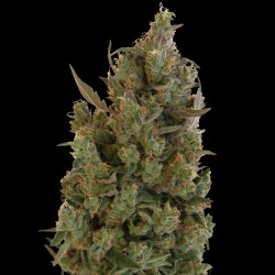Blue Cheese  5 u. fem. Barney's