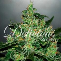Auto Critical Jack Herrer 10.u.fem Delicious Seeds