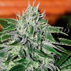 Critical Jack Herrer 3.u.fem.Delicious Seeds