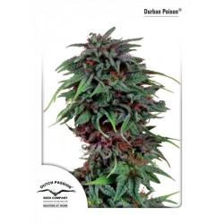 Durban Poison  5 u. Feminizadas
