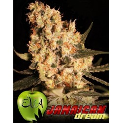 Jamaican Dream 3 u. Feminizadas