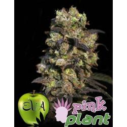 Pink Plant 3 u. Feminizadas