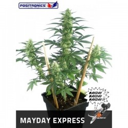 Auto Mayday Express  5 u. Feminizadas