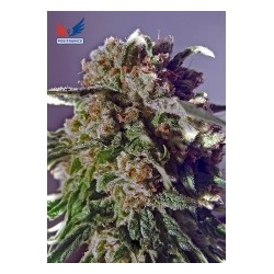 CBD Black Widow  5 u. Feminizadas